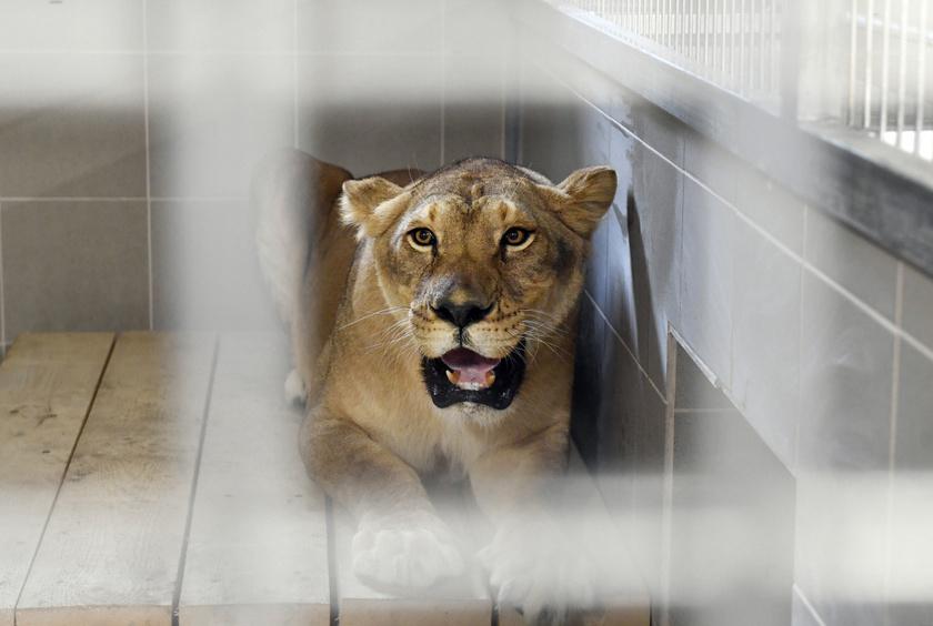 Hányatott sorsú, romániai cirkuszi oroszlánok egyike a Veresegyházi Medveotthonban 2019. július 29-én.