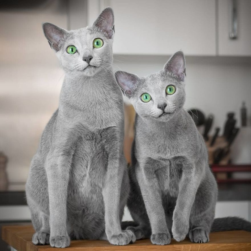 Xafi és Auri, az orosz kék macska testvérpár. Ezüstös bundájukkal, kecsességükkel és smaragdzöld szemeikkel mindenkit elvarázsolnak.