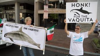 Egy éven belül kihalhat a kaliforniai disznódelfin