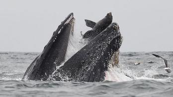 Egy bálna bekapott egy fókát