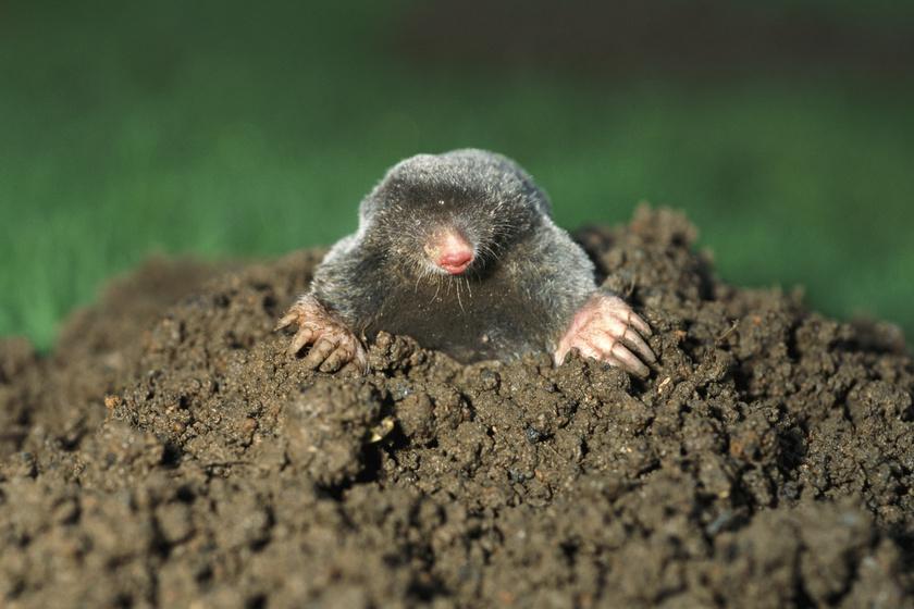 Így űzd el a vakondokat a kertből: megmenekül a veteményes, és a kis állatnak sem esik baja