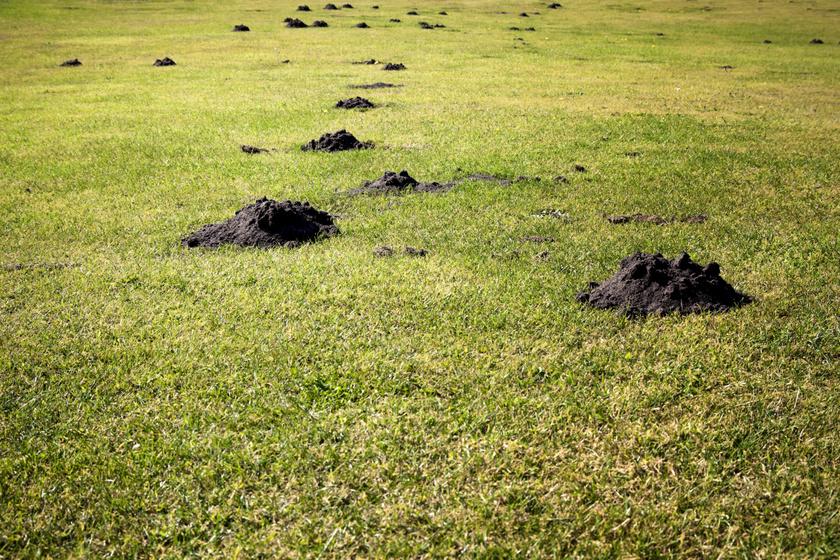 Hogyan lehet távol tartani a pocokat az udvarától