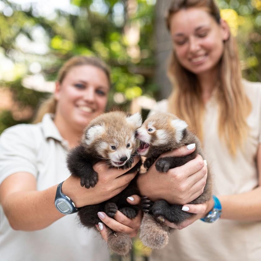 A kis pandákat gyűrűs farkuk, fogaik, koponyafelépítésük és pofájuk miatt rendszertanilag sokáig a mosómedvefélékhez sorolták.