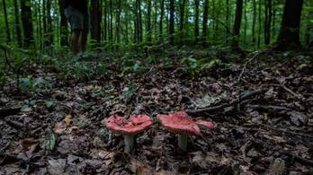 Gombákra épül a jövő a Banyaerdőben