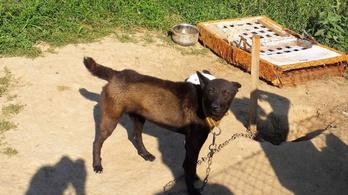 Láncra kötve, árnyék és élelem nélkül tartotta a saját kutyáit