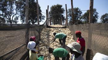 Ötmilliónál is több embert fenyeget éhínség Zimbabwében