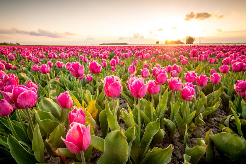 A tulipán tökéletes szeretőt, hírnevet, természetességet, játékosságot, vidámságot jelképez.