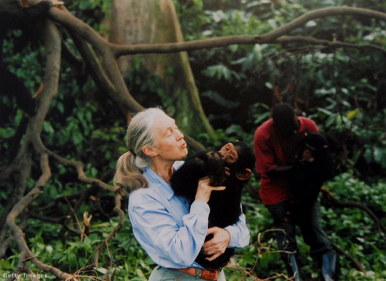 Jane-nek hatalmas szerepe van abban, amit ma tudunk a csimpánzokról és viselkedésükről