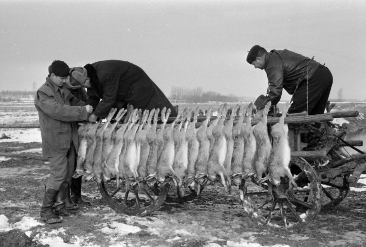 """Külkereskedelmi Minisztérium vadászata Alsónémediben, 1967A minisztériumi vadásztársaság tizenkilenc vadásza rendezett Alsónémediben körvadászatot. A három hajtás eredménye 87 nyúl, 16 fácán és egy róka volt. """"A vadászok elégedetten fejezték be kora délután a hajtásokat, hisz nemcsak kompetencia jutott, hanem beadási szerződésüknek is eleget tudtak tenni m – amit erre a hétre kötöttek. A sikeres vadászatot a közös ebéd, a jó ízű nyúlpaprikás fejezte be""""– írta a Magyar Vadászban megjelenő rövid tudósítás. A munkahelyi vadászatokra rendszerint különbusszal érkezett a társaság, gyakran a családjukat is elhozták, ők voltak a hajtók. Bár az őket fogadó vadőr minden alkalommal figyelmeztette a rutinnal nem feltétlenül rendelkező munkásvadászokat a hajtás és a fegyverhasználat szabályaira, gyakoriak voltak a vadászbalesetek."""