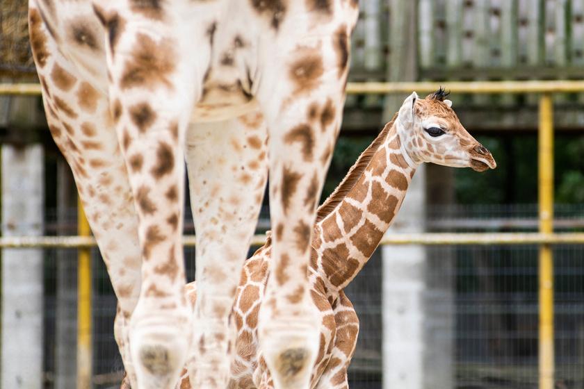 A zsiráfok kilenc alfaját különítik el mintázatuk és afrikai élőhelyük alapján, a Nyíregyházi Állatparkban Rothschild-zsiráfok élnek.