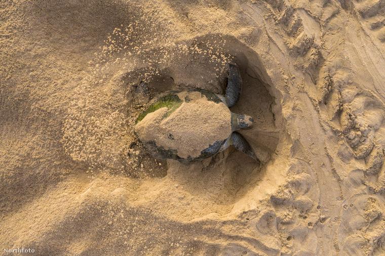 Megszámlálhatatlan kisfilmet készítettek már arról, ahogyan a kis teknősök kikelnek a tojásból, majd esve-botolva szaladnak a tengerhez