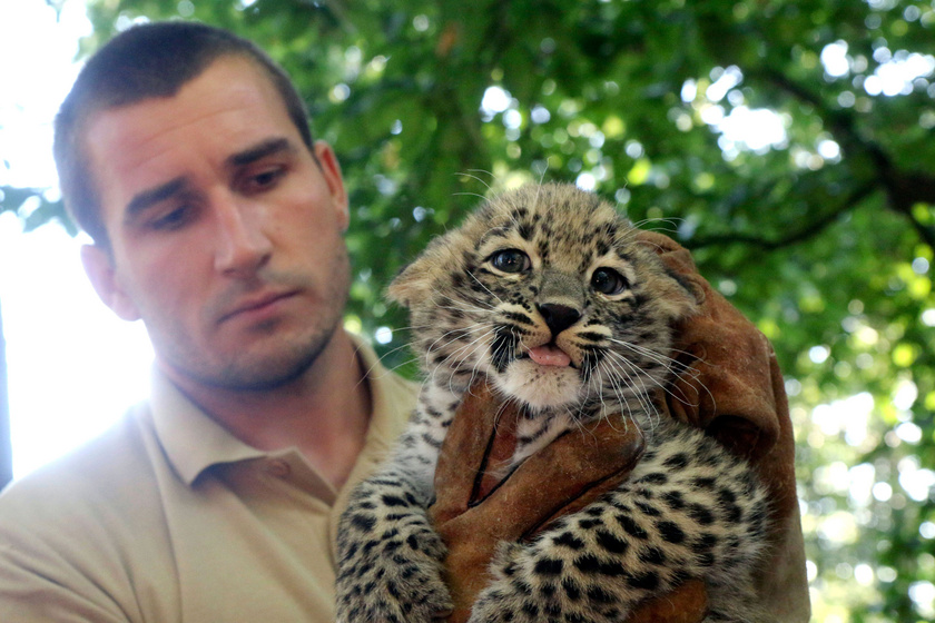 A perzsa leopárd testhossza meghaladja a két métert.