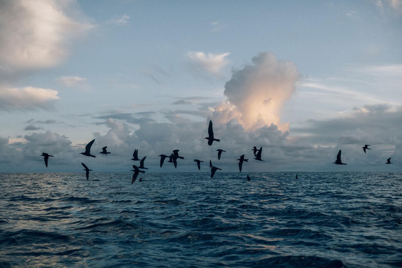 Egy csapat vízimadár száll el az óceán felett a Fakaofo atoll közelében. A klímaváltozás természetesen nemcsak az emberekre jelent veszélyt, hanem azokra állatfajokra is, amik kifejezetten csak itt fordulnak elő, ilyen például a Fanning-szigeti nádiposzáta (Acrocephalus aequinoctialis). Egyes kutatások szerint a 21. század végére legalább négy faj teljesen el fog tűnni erről a vidékről.