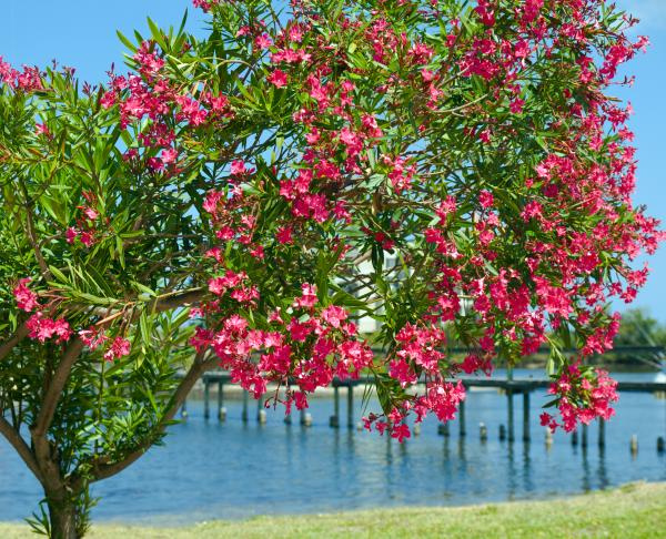 oleander-on-melbourne-harbor-in-florida-allan-hughes