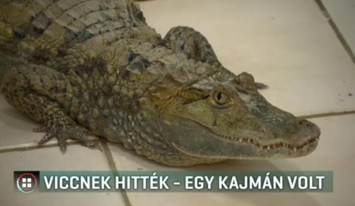 kajmán2.PNG