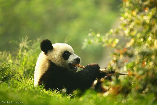 ÓriáspandaEgy 2004-es kutatás szerint Kínában már csak 1600 vadon élő óriáspanda maradt, a populációt főként a bundájáért való vadászata tizedelte meg, aminek az az 1997-ig érvényben levő törvény szabott gátat, ami halálbüntetést rótt ki az elkövetőkre. 2016-ra sikerült megállítani a faj egyedszámának csökkenését, és az óriáspandát a Természetvédelmi Világszövetség védettről sebezhetővé enyhítette.