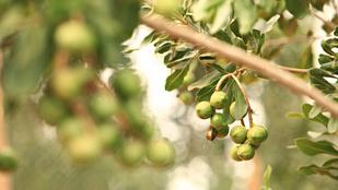Egyetlen fától származik a világ makadámdió-termésének 70 százaléka