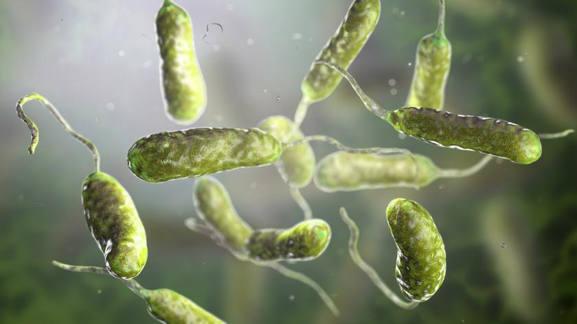 vibrio vulnificus baktérium