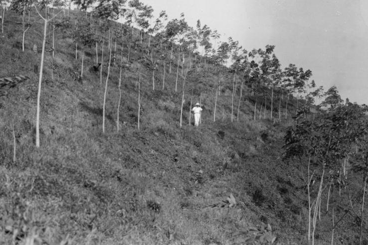 Később rájöttek, hogy nem volt jó ötlet a dombos vidékre telepíteni a kaucsukfákat. Pláne nem egymáshoz ilyen közel