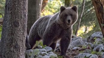 A vadász egy fa alatt ült, amikor megpillantott egy 150 kilós medvét
