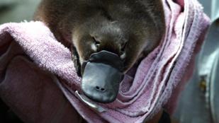 A kacsacsőrű emlős mérge olyan fájdalmat okoz, amin a morfium sem segít
