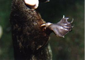 A kacsacsőrű emlős sarkantyúja