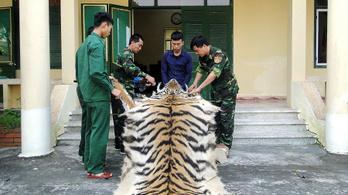Évente 120 tigris lett orvvadászok áldozata