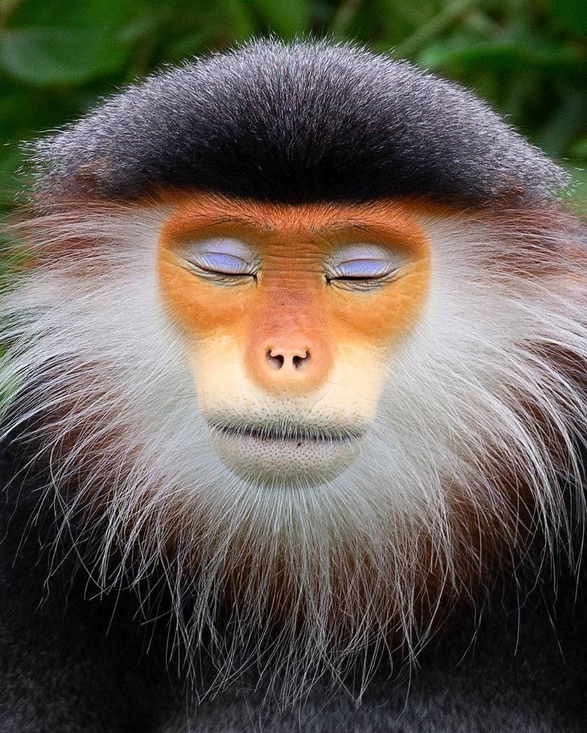 Ahhoz, hogy ilyen fotók készüljenek, a fotósnak a lehető legközelebb kell kerülnie a majmokhoz. Na és persze el kell érnie, hogy ne csak megszokják, de elfogadják a jelenlétét.
