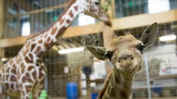 Nem lesz olyan egyszerű zsiráfot venni