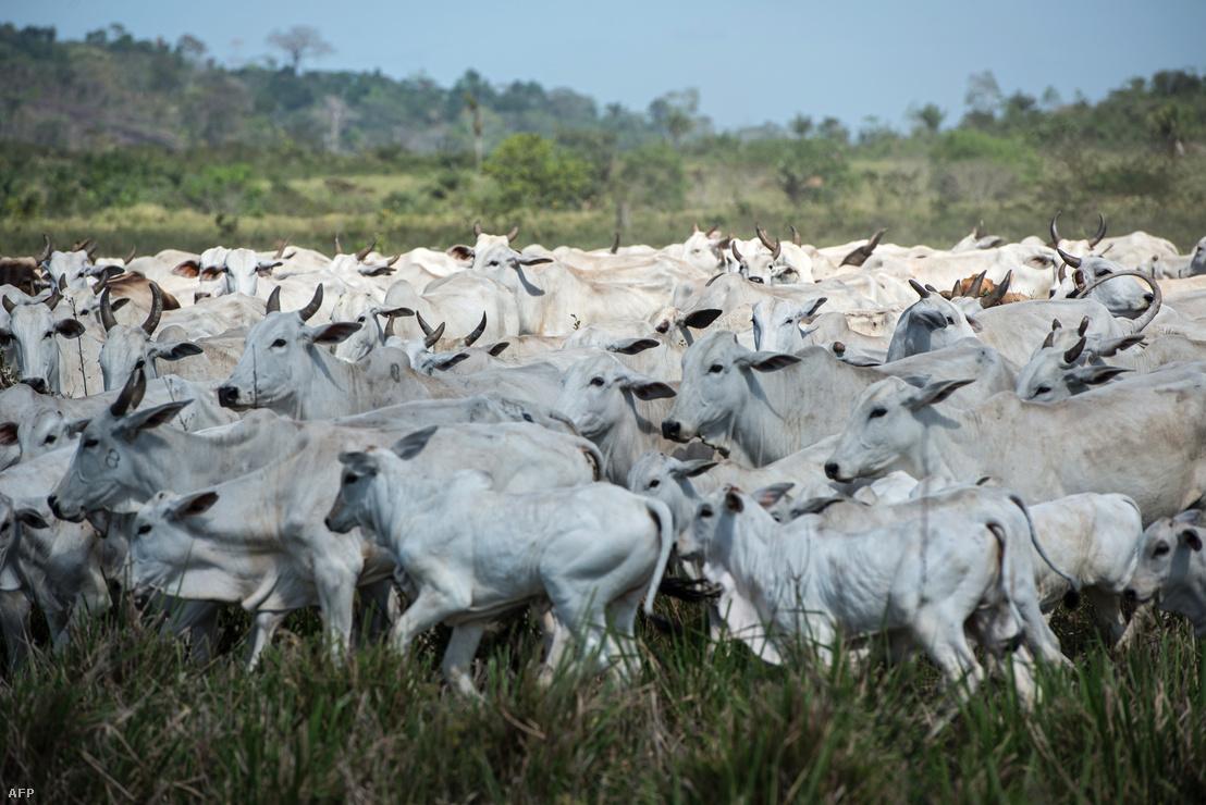Szarvasmarhák legelnek az egykori őserdő helyén létrehozott legelőn Brazíliában Para állam Felix o Xingu Para település közelében