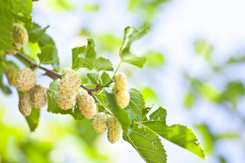 fehér eperfa fogyókúra 90 napos diéta leírása