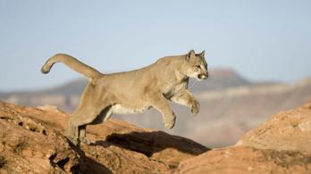 Puma támadt egy nyolcéves kisfiúra Coloradóban