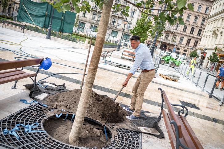 Szentgyörgyvölgyi Péter polgármester fát ültet a József nádor téren