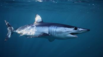 Tizennyolc veszélyeztetett cápa- és rájafaj kerülhet védelem alá
