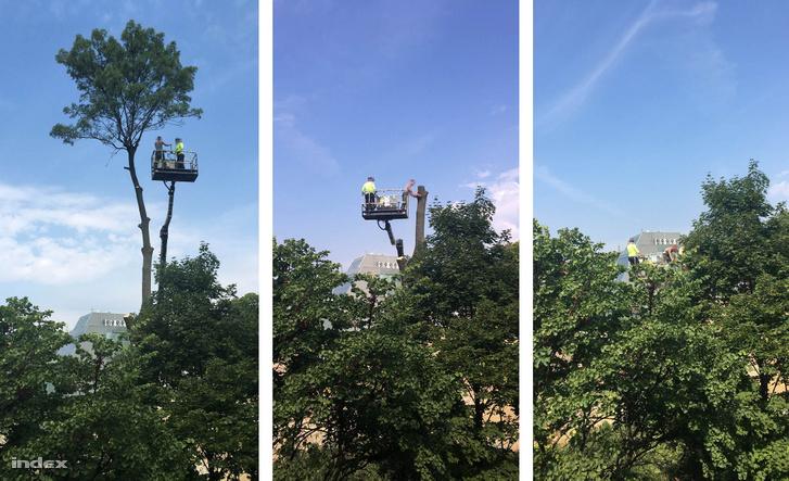 A kert utolsó fájának kivágása daru segítségével augusztus 22-én
