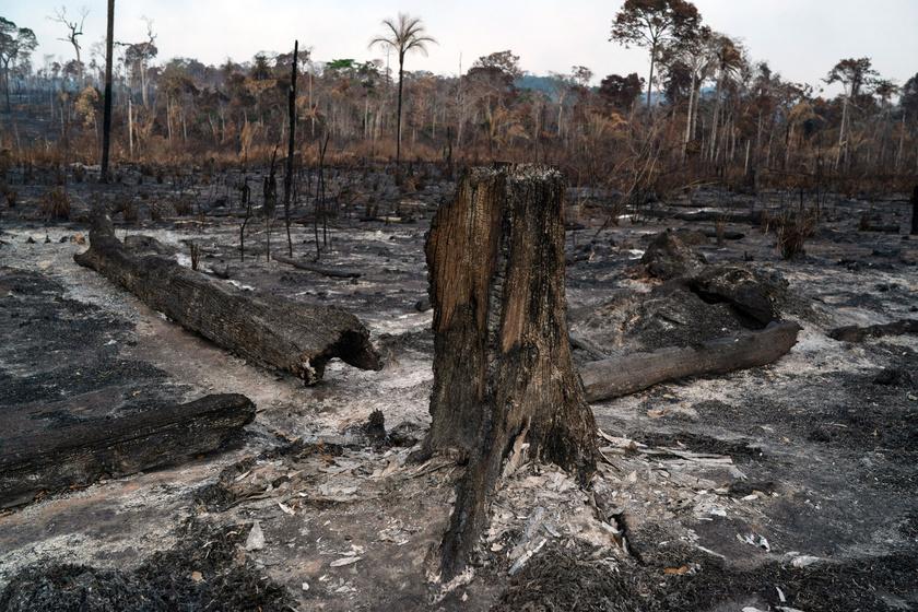 Elszenesedett fatörzsek az Amazonas-medencében, a brazíliai Pará szövetségi államban lévő Novo Progresso közelében.