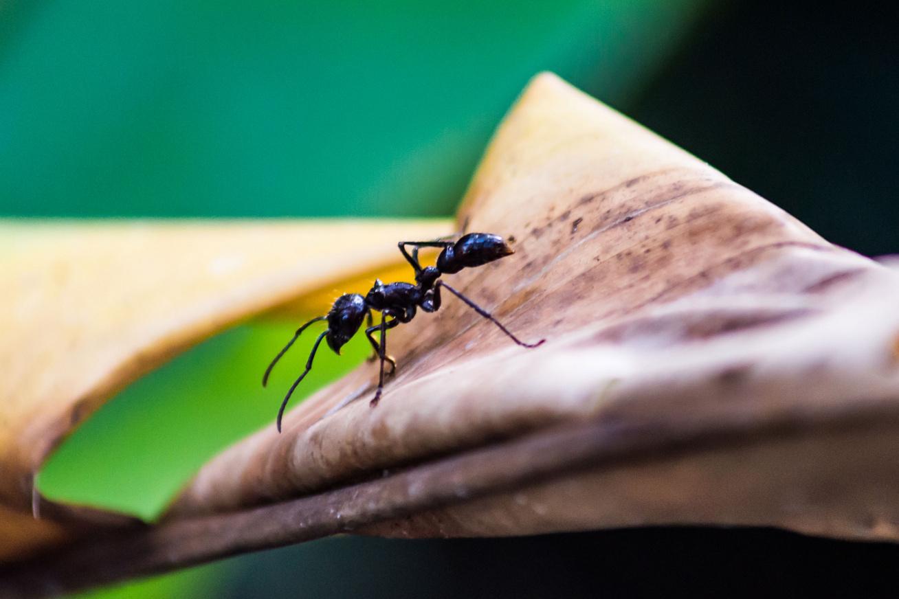 fekete-hangya