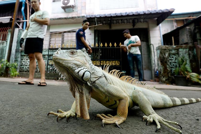 50 állatot, főként hüllőket tart ranguni otthonában egy mianmari fiatalember, a képen látható leguán tulajdonosa. A 26 éves férfi 2015-ben gondozni kezdett egy gekkót, azóta vannak egzotikus állatai.