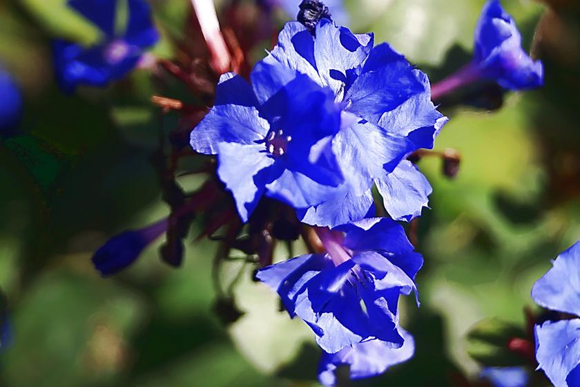A tarackoló kékgyökér különleges kék virágaival feltűnő ékessége lehet a kertnek. Ötszirmú virágait az októberi fagyok beköszöntéig hozza, mígnem leveleit bronzosra színezik az őszi napsugarak. Napos vagy félárnyékos helyet kedvel, és minimális öntözéssel beéri.