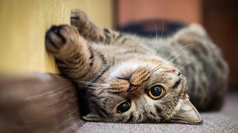 Itt az oltás macskaszőr-allergia ellen