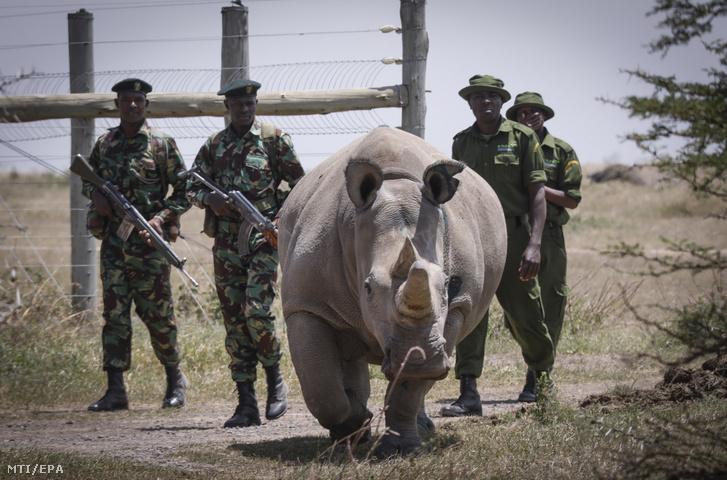 Fegyveres vadőrök és gondozók kísérik a Föld két utolsó, északi szélesszájú nőstény orrszarvújának egyikét, a 19 éves Fatut az Ol Pejeta Rezervátumban a kenyai fővárostól, Nairobitól mintegy 200 km-re, északra fekvő Nanyuki közelében 2019. augusztus 23-án. Egy tudóscsoportnak az előző nap sikerült petesejteket kinyerni mindkét nőstény testéből azzal a szándékkal, hogy a megtermékenyítendő ivarsejteket később anyaállatok méhébe ültessék.