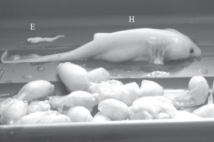 embriones-tiburon-diferentes-tamanos