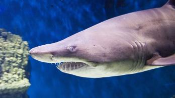 A kannibál cápaembrió már az anyaméhben felfalja a testvéreit