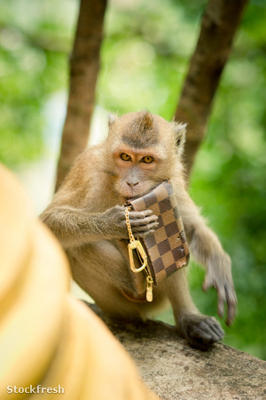 stockfresh 1133229 monkey-theft sizeM