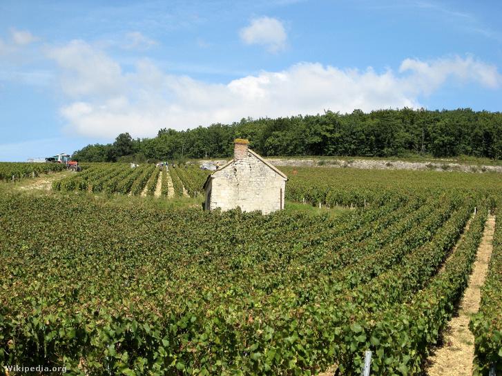 Szőlészet a burgundiai Fourchaume-ban