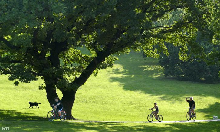 Idős kocsányos tölgyfa a Tabán városrész közparkjában