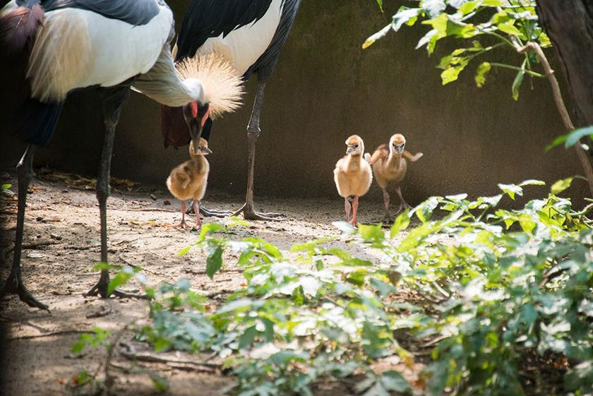 A szürkenyakú, vagy más néven déli koronásdarvak Kelet- és Dél-Afrika nyílt, szavannás területein őshonosak.