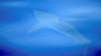Miért dugják ki a cápák az uszonyukat a vízből? Egyáltalán tényleg kidugják?