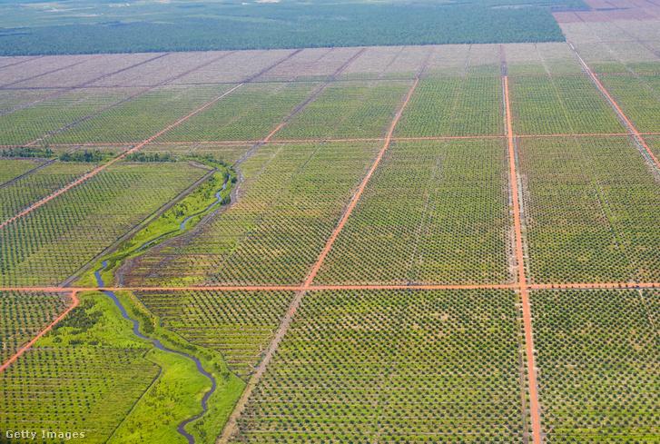 Légi felvétel az indonéziai Banjarmasinban található pálmaolajfák ültetvényéről.