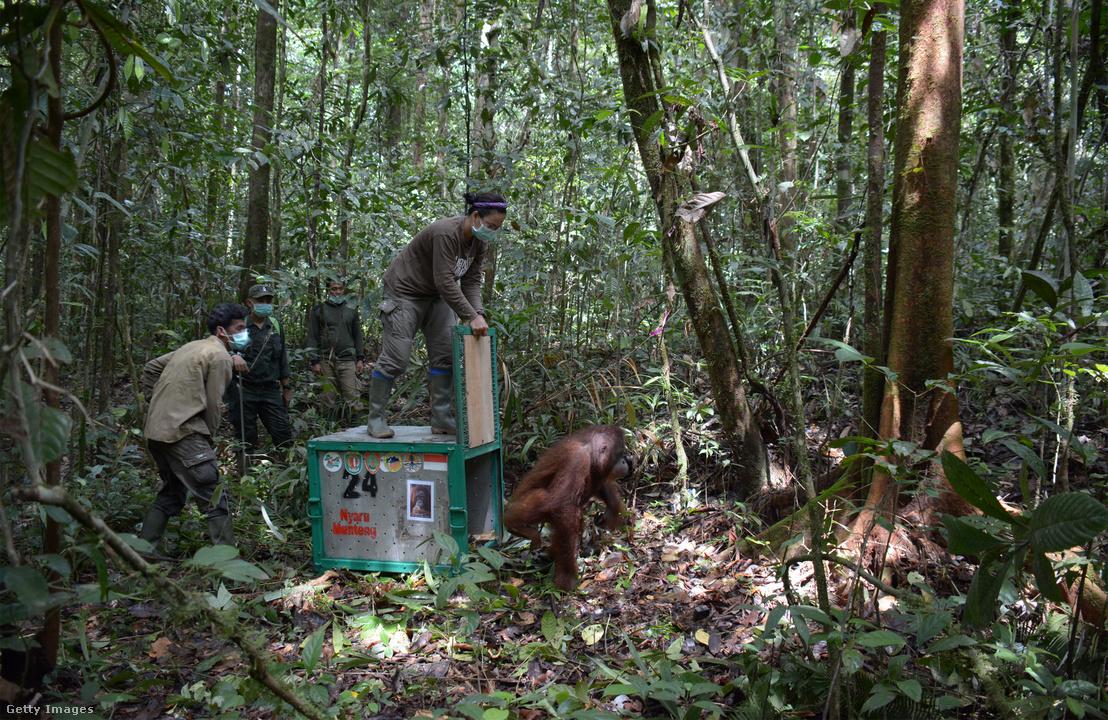 Borneói Orangután Mentő (BOS) szervezet enged vissza a szabadba egy orangutánt az indonéziai Kotában 2018. január 11-én.